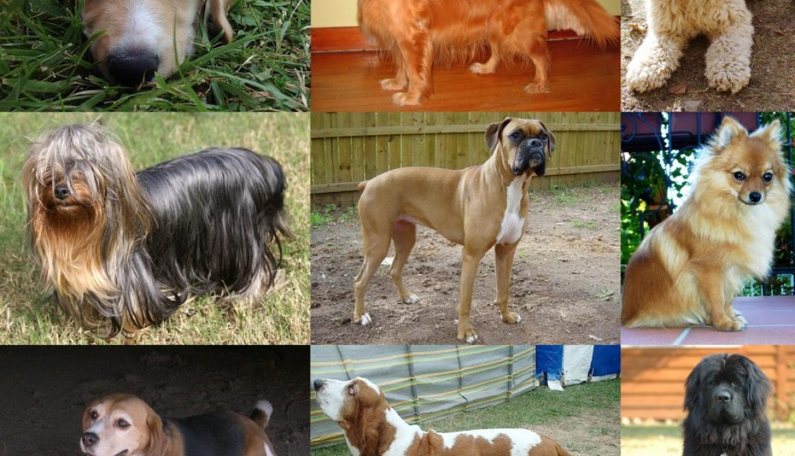 collage di cani Wikipedia